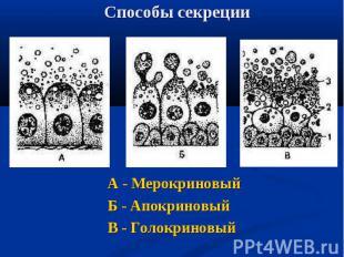 А - Мерокриновый А - Мерокриновый Б - Апокриновый В - Голокриновый