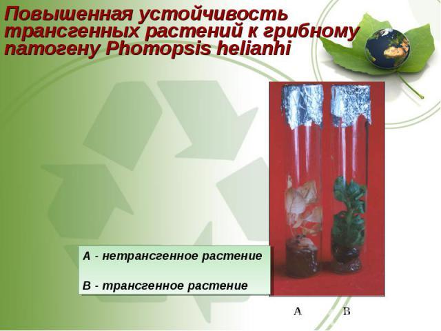 Повышенная устойчивость трансгенных растений к грибному патогену Phomopsis helianhi Повышенная устойчивость трансгенных растений к грибному патогену Phomopsis helianhi