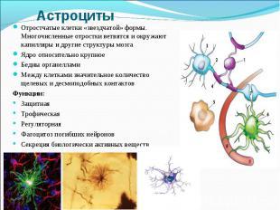 Отростчатые клетки «звездчатой» формы. Многочисленные отростки ветвятся и окружа