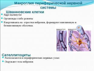 Ядро вытянутое Ядро вытянутое Органоиды слабо развиты Накручиваясь на отростки н