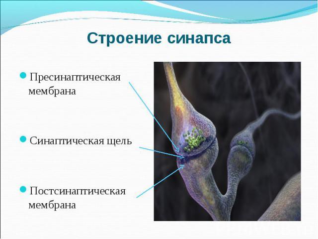 Пресинаптическая мембрана Пресинаптическая мембрана Синаптическая щель Постсинаптическая мембрана