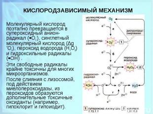 Молекулярный кислород поэтапно превращается в супеpоксидный анион-радикал ( О2-)