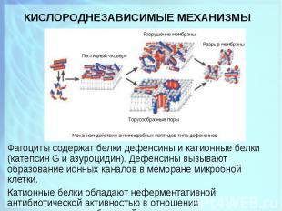 Фагоциты содержат белки дефенсины и катионные белки (катепсин G и азуроцидин). Д