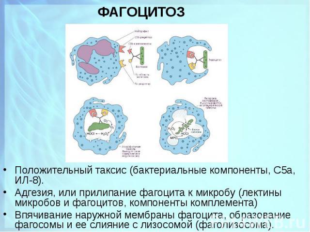 Положительный таксис (бактериальные компоненты, С5а, ИЛ-8). Положительный таксис (бактериальные компоненты, С5а, ИЛ-8). Адгезия, или прилипание фагоцита к микробу (лектины микробов и фагоцитов, компоненты комплемента) Впячивание наружной мембраны фа…