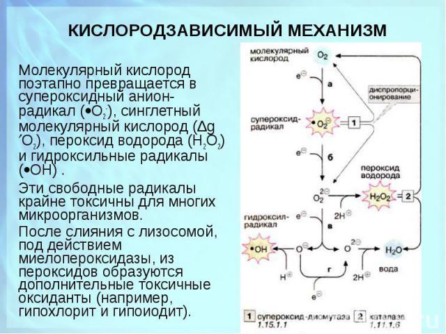 Молекулярный кислород поэтапно превращается в супеpоксидный анион-радикал ( О2-), синглетный молекулярный кислород (Δg О2), пеpоксид водоpода (Н2О2) и гидроксильные радикалы ( ОН) . Молекулярный кислород поэтапно превращается в супеpоксидный анион-р…