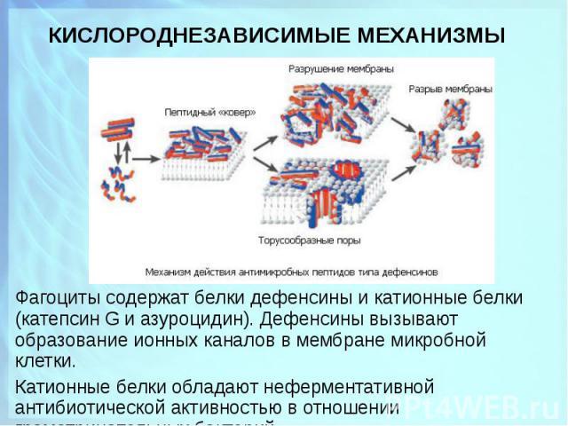 Фагоциты содержат белки дефенсины и катионные белки (катепсин G и азуроцидин). Дефенсины вызывают образование ионных каналов в мембране микробной клетки. Фагоциты содержат белки дефенсины и катионные белки (катепсин G и азуроцидин). Дефенсины вызыва…