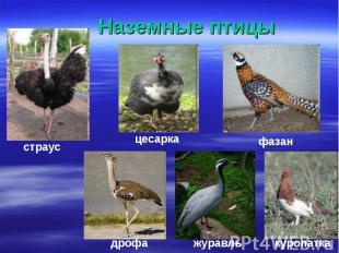 Наземные птицы