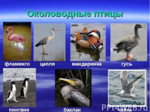 Околоводные птицы
