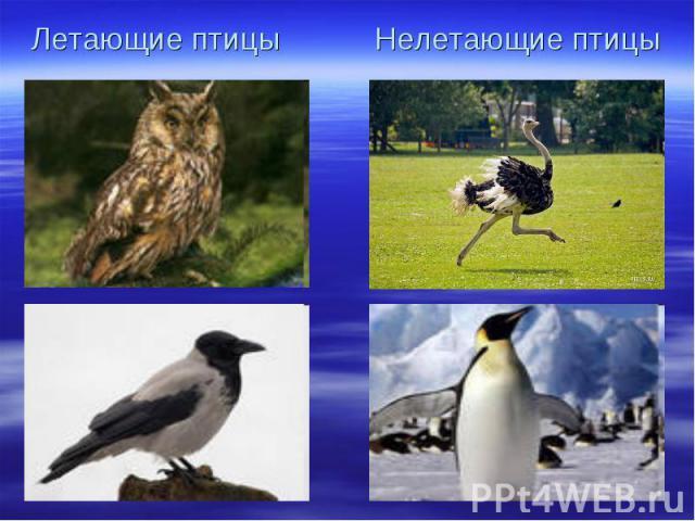 Летающие птицы Нелетающие птицы