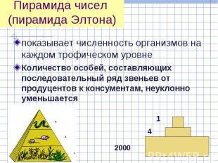 показывает численность организмов на каждом трофическом уровне показывает числен