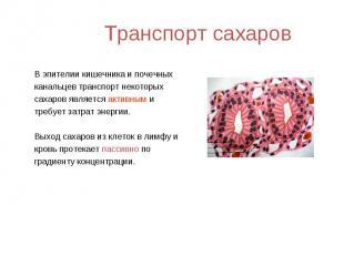 В эпителии кишечника и почечных В эпителии кишечника и почечных канальцев трансп