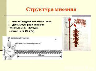 палочковидная хвостовая часть две глобулярные головки: -тяжелые цепи (200 кДа) -