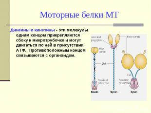 Динеины и кинезины - эти молекулы одним концом прикрепляются сбоку к микротрубоч