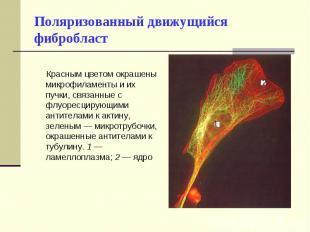 Красным цветом окрашены микрофиламенты и их пучки, связанные с флуоресцирующими
