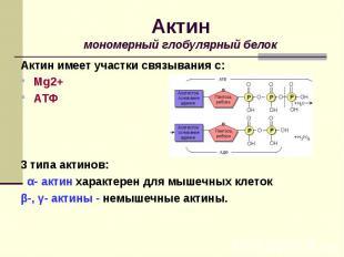 Актин имеет участки связывания с: Актин имеет участки связывания с: Mg2+ АТФ 3 т