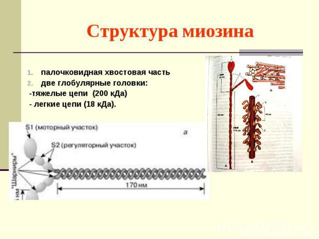 палочковидная хвостовая часть две глобулярные головки: -тяжелые цепи (200 кДа) - легкие цепи (18 кДа).