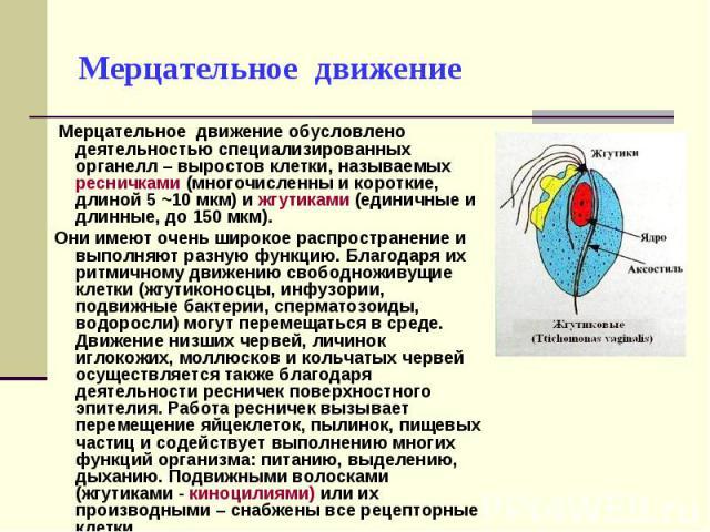 Мерцательное движение обусловлено деятельностью специализированных органелл – выростов клетки, называемых ресничками (многочисленны и короткие, длиной 5 ~10 мкм) и жгутиками (единичные и длинные, до 150 мкм). Мерцательное движение обусловлено деятел…