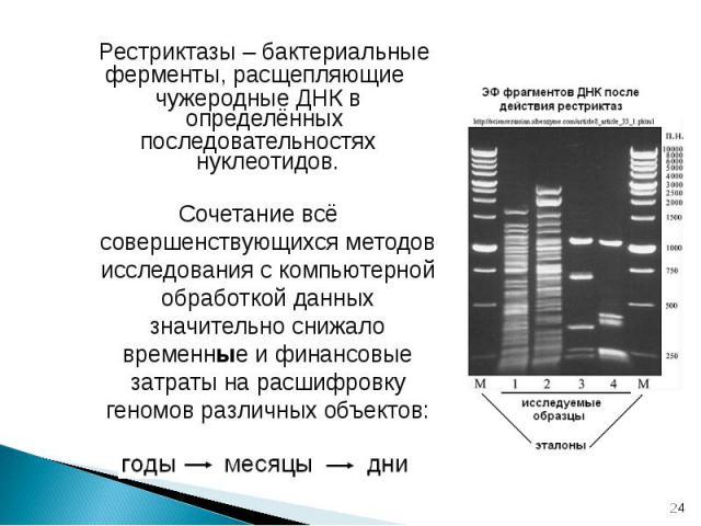 Рестриктазы – бактериальные ферменты, расщепляющие чужеродные ДНК в определённых последовательностях нуклеотидов. Сочетание всё совершенствующихся методов исследования с компьютерной обработкой данных значительно снижало временные и финансовые затра…