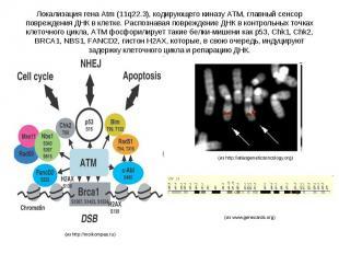 Локализация гена Atm (11q22.3), кодирующего киназу ATM, главный сенсор поврежден