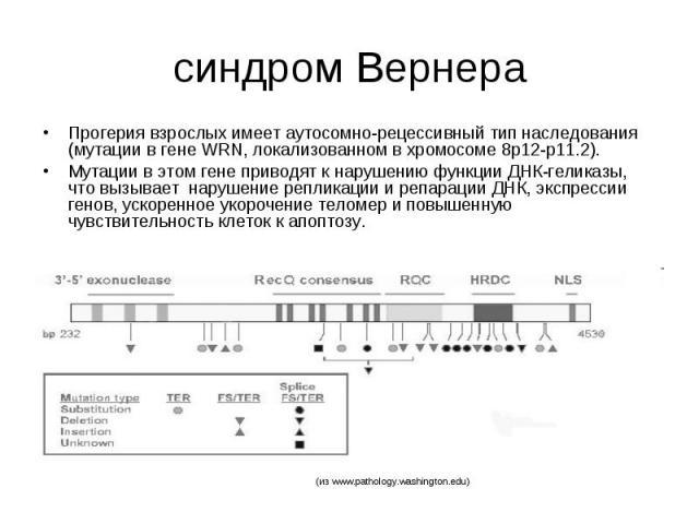 синдром Вернера Прогерия взрослых имеет аутосомно-рецессивный тип наследования (мутации в гене WRN, локализованном в хромосоме 8p12-p11.2). Мутации в этом гене приводят к нарушению функции ДНК-геликазы, что вызывает нарушение репликации и репарации …