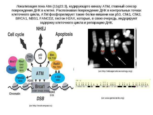 Локализация гена Atm (11q22.3), кодирующего киназу ATM, главный сенсор повреждения ДНК в клетке. Распознавая повреждение ДНК в контрольных точках клеточного цикла, ATM фосфорилирует такие белки-мишени как р53, Chk1, Chk2, BRCA1, NBS1, FANCD2, гистон…