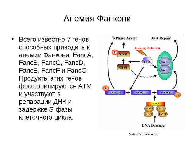 Анемия Фанкони Всего известно 7 генов, способных приводить к анемии Фанкони: FancA, FancB, FancC, FancD, FancE, FancF и FancG. Продукты этих генов фосфорилируются ATM и участвуют в репарации ДНК и задержке S-фазы клеточного цикла.