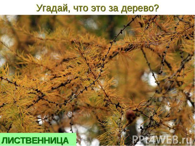 Угадай, что это за дерево?