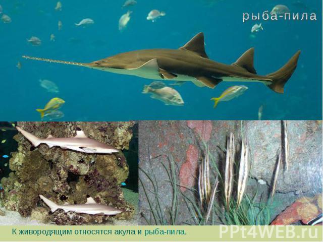 К живородящим относятся акула и рыба-пила.  К живородящим относятся акула и рыба-пила.