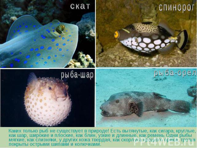 Каких только рыб не существует в природе! Есть вытянутые, как сигара, круглые, как шар, широкие и плоские, как блин, узкие и длинные, как ремень Одни рыбы мягкие, как слизняки, у других кожа твердая, как скорлупа грецкого ореха, третьи покрыты остры…
