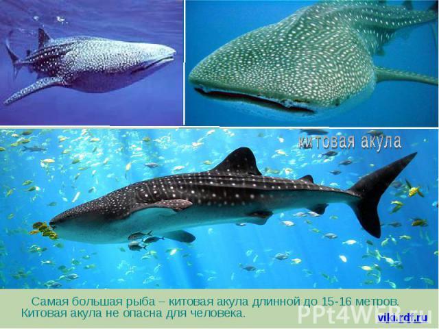 Самая большая рыба – китовая акула длинной до 15-16 метров. Китовая акула не опасна для человека. Самая большая рыба – китовая акула длинной до 15-16 метров. Китовая акула не опасна для человека.