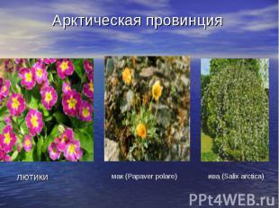 Арктическая провинция лютики
