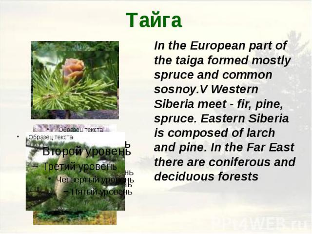 Тайга In the European part of the taiga formed mostly spruce and common sosnoy.V Western Siberia meet - fir, pine, spruce. Eastern Siberia is composed of larch and pine. In the Far East there are coniferous and deciduous forests