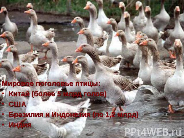 Мировое поголовье птицы: Мировое поголовье птицы: Китай (более 5 млрд голов) США Бразилия и Индонезия (по 1,2 млрд) Индия