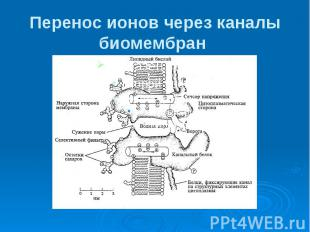 Перенос ионов через каналы биомембран