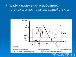 График изменения мембраного потенциала при разных воздействиях График изменения
