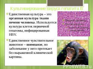 Культивирование вируса гепатита В Единственная культура – это органная культура