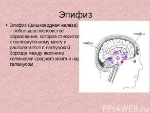 Эпифиз Эпифиз (шишковидная железа) – небольшое железистое образование, которое о
