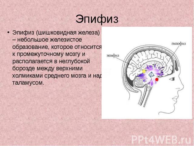 Эпифиз Эпифиз (шишковидная железа) – небольшое железистое образование, которое относится к промежуточному мозгу и располагается в неглубокой борозде между верхними холмиками среднего мозга и над таламусом.