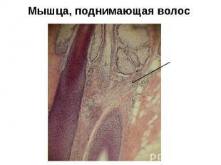 Мышца, поднимающая волос