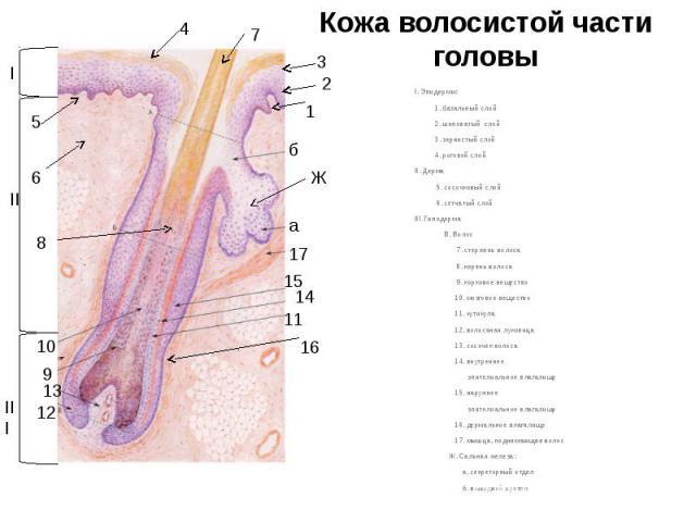 Кожа волосистой части головы I. Эпидермис 1. базальный слой 2. шиповатый слой 3. зернистый слой 4. роговой слой II. Дерма 5. сосочковый слой 6. сетчатый слой III. Гиподерма В. Волос 7. стержень волоса 8. корень волоса 9. корковое вещество 10. мозгов…