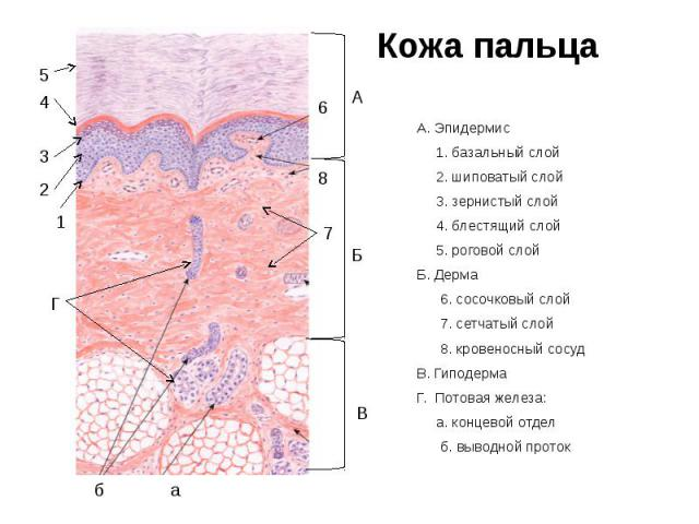 Кожа пальца А. Эпидермис 1. базальный слой 2. шиповатый слой 3. зернистый слой 4. блестящий слой 5. роговой слой Б. Дерма 6. сосочковый слой 7. сетчатый слой 8. кровеносный сосуд В. Гиподерма Г. Потовая железа: а. концевой отдел б. выводной проток