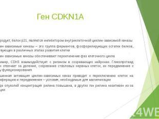 Ген CDKN1A Его продукт, белок p21, является ингибитором внутриклеточной циклин-з