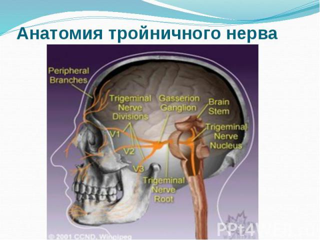 Анатомия тройничного нерва