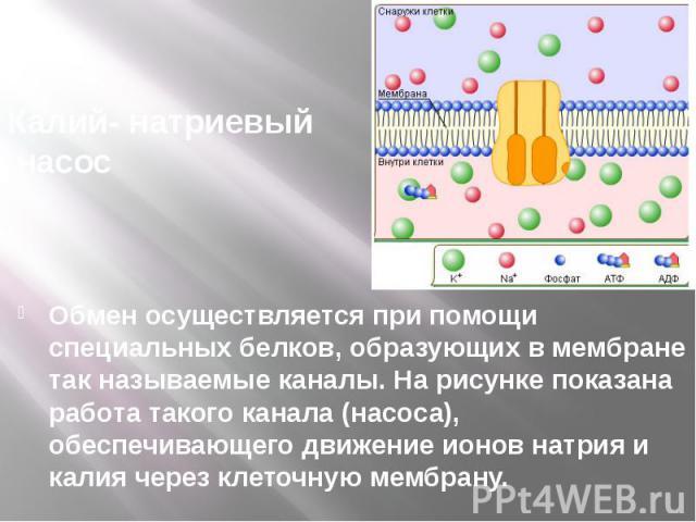 Калий- натриевый насос Обмен осуществляется при помощи специальных белков, образующих в мембране так называемые каналы. На рисунке показана работа такого канала (насоса), обеспечивающего движение ионов натрия и калия через клеточную мембрану.