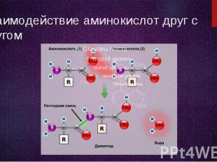 Взаимодействие аминокислот друг с другом