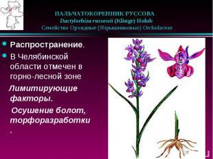 ПАЛЬЧАТОКОРЕННИК РУССОВА Dactylorhiza russowii (Klinge) Holub
