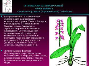 ЯТРЫШНИК ШЛЕМОНОСНЫЙ  Orchis militaris L.  Семейство Орх
