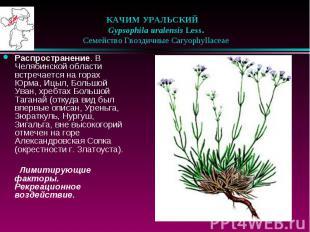 КАЧИМ УРАЛЬСКИЙ  Gypsophila uralensis Less.  Семейство Г