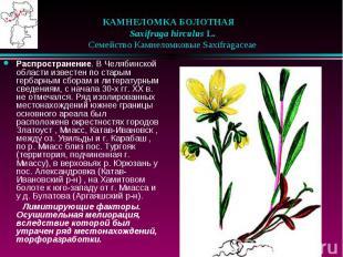 КАМНЕЛОМКА БОЛОТНАЯ  Saxifraga hirculus L.  Семейство Ка