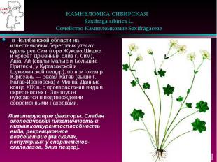 КАМНЕЛОМКА СИБИРСКАЯ  Saxifraga sibirica L.  Семейство К